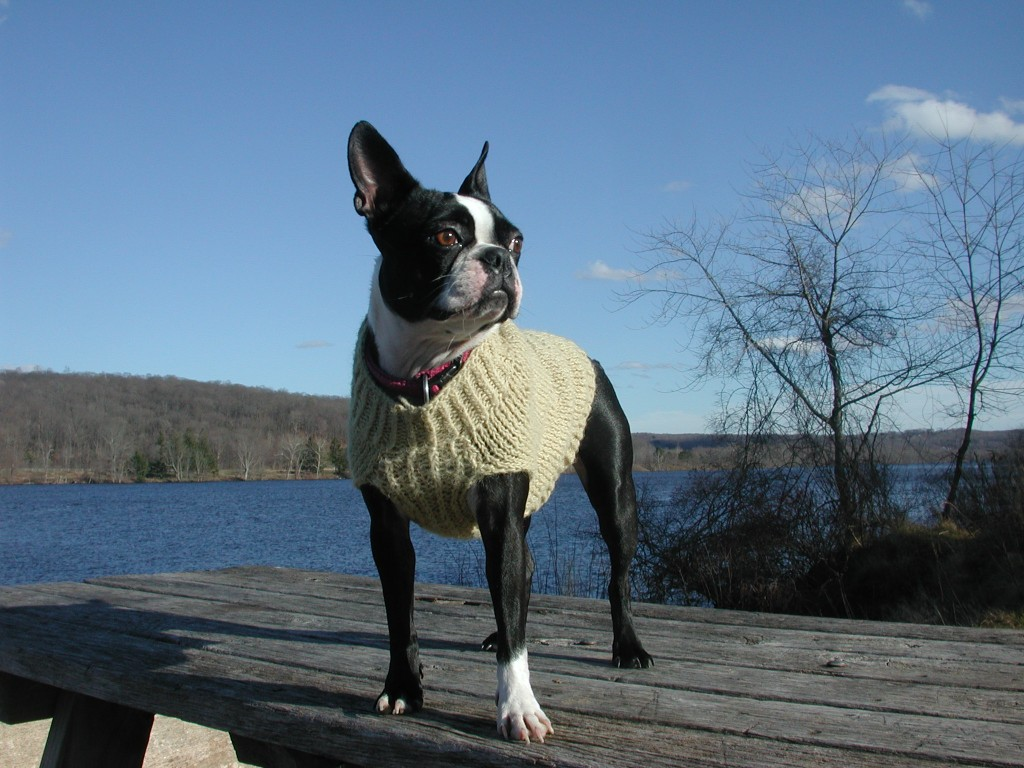 Hand-knit Boston terrier sweater. See more on Moo Dog Knits.